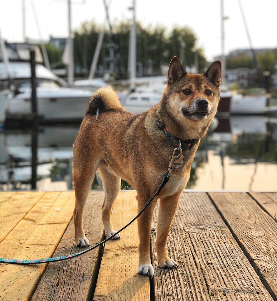 Hiro the Shiba on a Dock