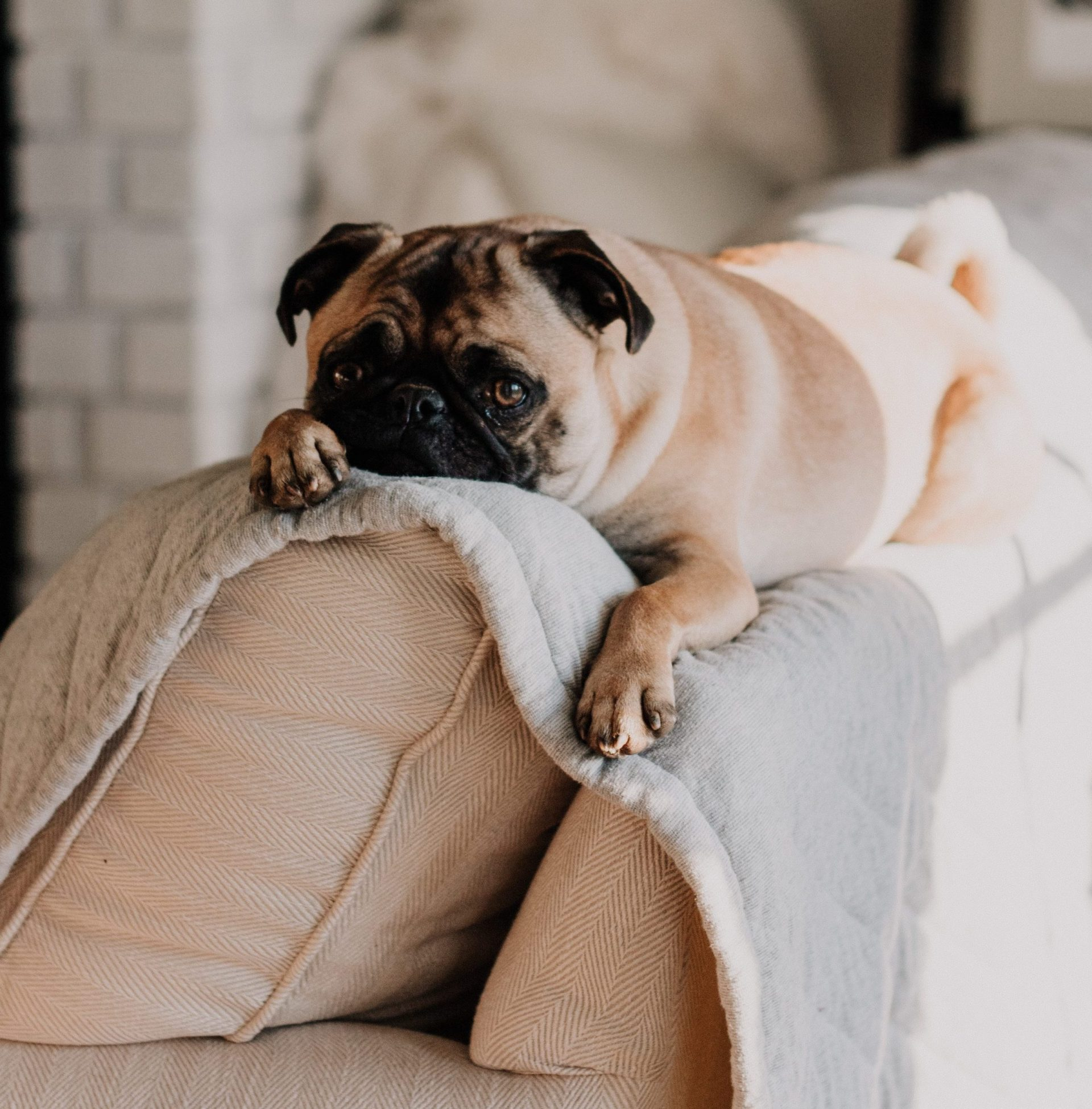 Pug Relaxing on Couch