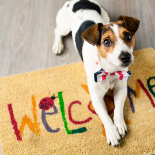 Jack Russel Laying on Welcome Mat